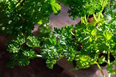 Curly parsley leaves closeup in the garden. Aromatic background branch bunch cooking cuisine culinary dieting eating flavor food fresh freshness green group royalty free stock photography