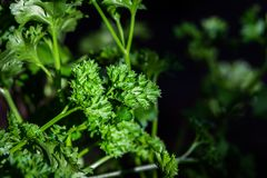 Curly parsley leaves closeup in the garden. Aromatic background branch bunch bundle cilantro condiment cook cooking coriander cuisine culinary curled eating stock photos