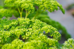 Curly parsley leaves. Royalty Free Stock Photography