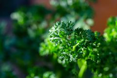 Curly parsley leaves closeup in the garden. Aromatic background branch bunch cooking cuisine culinary dieting eating flavor food fresh freshness green group royalty free stock image
