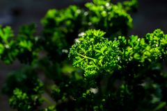 Curly parsley leaves closeup in the garden. Agricultural aroma aromatic background cooking culinary flavor food fragrant fresh freshness green health healthy royalty free stock images