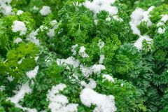 Free Curly Parsley Leaves Covered With Snow. Abrupt Climate Change. Royalty Free Stock Images - 201734839
