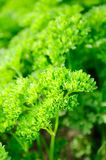 Curly Parsley on Vegetable Patch Royalty Free Stock Image