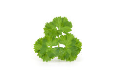 Curly parsley Royalty Free Stock Images