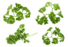 Curly parsley on white Royalty Free Stock Image