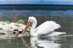 Curly Pelican Royalty Free Stock Images