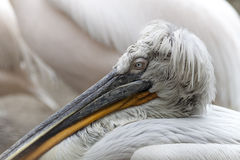 Curly Pelican Stock Images