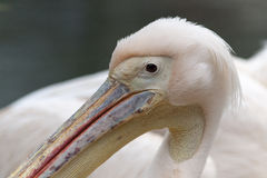 Curly Pelican Royalty Free Stock Image