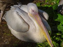 Curly pelican Pelecanus crispus is going to sleep on the shore of the pond stock photography