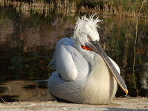 Curly pelican Royalty Free Stock Photo