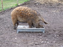 Curly Pig In Trough Royalty Free Stock Photography