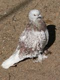 Curly pigeon Royalty Free Stock Images