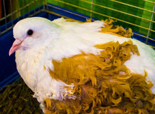 Curly pigeons . Curly feathered doves at a fair for agriculture Stock Photography