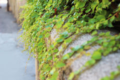 Curly plant. Green curly climber plant on sidewalk Stock Image