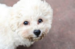 Curly puppy of bichon frise stock photos
