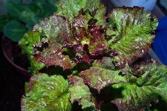 Curly Red Leaf Lettuce. Also known as Loose Leaf Lettuce. Mild, sweet flavor. Easy to grow. Soft leaves. Pretty in salads. Visually interesting. Considered royalty free stock image