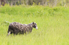 Curly sheep grazing in the meadow and eating the  green grass Stock Image