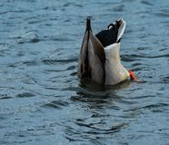Curly Tail on the Dipping Duck. A male mallard duck dipping in a lake in South Carolina showing off his curly tail feathers Stock Image