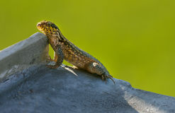 Curly tail lizard Stock Photography