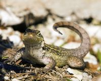 Curly Tail Lizzard Grand Bahama Island. A Curly Tail Lizzard in Grand Bahama Island Royalty Free Stock Photos