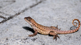 Curly-tailed Lizard Royalty Free Stock Photography