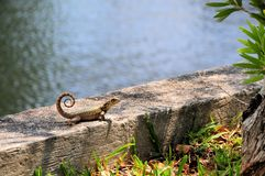 Curly-tailed lizard in Florida Stock Photography