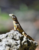 Curly tailed lizard. Stock Photo