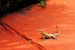 Curly-tailed Lizard Stock Image
