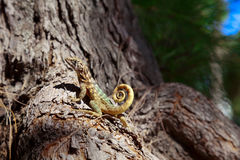 Curly-Tailed Lizard Stock Photo