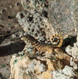 Curly Tailed Lizard Stock Images