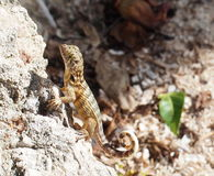 Curly Tailed Lizard Stock Photo