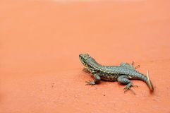 Curly-tailed lizard, South Florida Royalty Free Stock Image