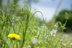 Curly tall grass growing in a meadow royalty free stock photos