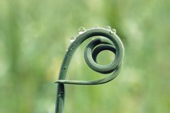 Curly Twig Of Vine Royalty Free Stock Photos