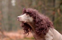 Curly - Weimaraner Fotografia de Stock