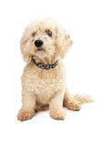 Curly White Poodle Dog Patiently Sitting Stock Photos