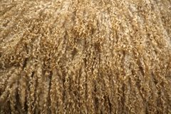 Curly Wool. Wool fleece of a Blue Lester Ewe who has recently been washed for a show stock image