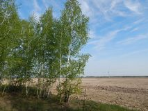 Curly young birch, in early spring. royalty free stock images