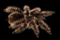 Curlyhair Tarantula Brachypelma Albopilosum Royalty Free Stock Images