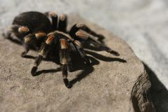 Curlyhair tarantula on rock royalty free stock photography