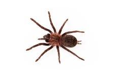 Curlyhair tarantula overhead view Royalty Free Stock Image