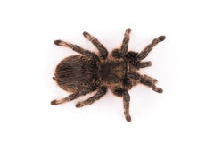 Curlyhair tarantula spider Stock Photo