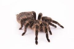 Curlyhair tarantula spider Stock Photography