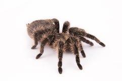 Curlyhair tarantula spider Stock Photography