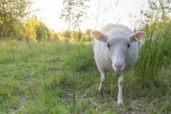 Curoius sheep Royalty Free Stock Photography