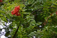 Curonian rovanberryes 免版税库存图片