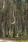 Curonian-Spucken, verbogene Bäume in der natürlichen Abweichung Lizenzfreie Stockfotos