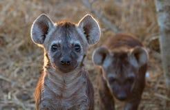 Curous hyenavalp Arkivfoto