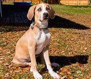 Big Beautiful Puppy Royalty Free Stock Photos