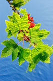 Currant. Sprout with leaves and red berries on the surface of the water Stock Photography